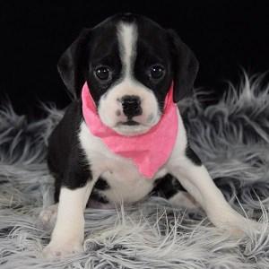 Caviston Puppies For Sale In Pa Ridgewood S Caviston Puppy Adoptions