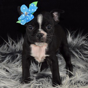 Boston Terrier Puppies For Sale In Pa Boston Puppies Adoptions