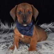 Jackshund puppies for sale in PA