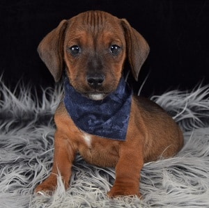 Jackshund Puppy Adoptions in VT