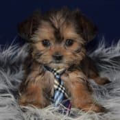 Shorkie puppies for sale in VA