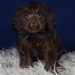 Cockapoo puppies for sale in pa cockapoo puppy adoptions for Dog kennels for sale in pa