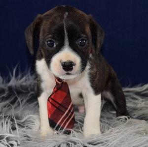 Caviston Puppies for Sale in ME