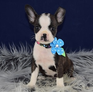 boston terrier for sale nj boston mix puppies for sale in pa ridgewood boston mixed 515