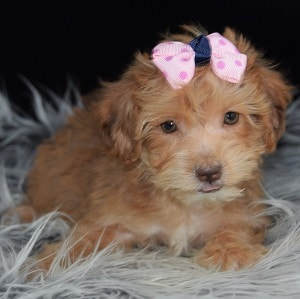Yorkichon puppies for sale in pa yorkichon puppy adoptions for Dog kennels for sale in pa