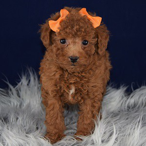 Poodle Puppies For Sale In Pa Ridgewood S Poodle Puppy Adoptions