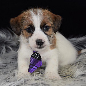 Jack Mixed puppies for sale in PA