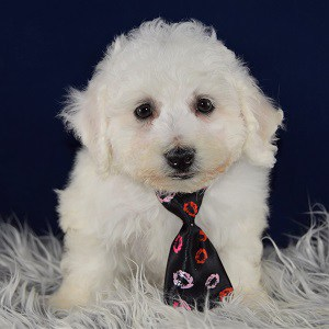 Bichon puppies for sale in RI