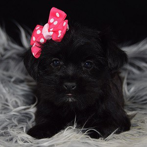 Shorkie puppy adoptions in NY