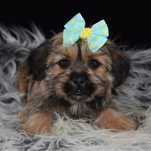 Shorkie puppies for sale in SC