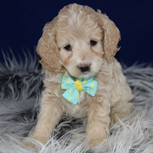 For Sale By Owner Va >> Cockapoo Puppies For Sale in PA | Cockapoo Puppy Adoptions
