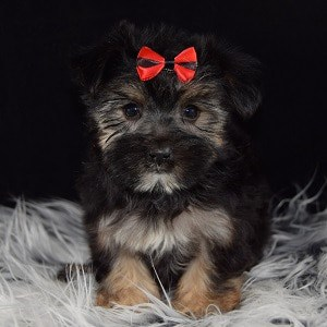 Shorkie puppies for sale in DE