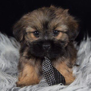 Shorkie puppies for sale in MA