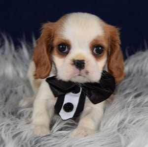CAvalier puppies for sale in CT