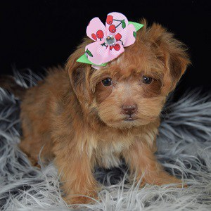yorkichon puppies for sale in FL
