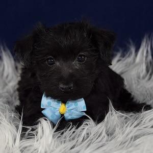 Yorkichon puppy adoptions in DE