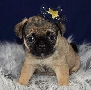 pug mixed puppies for sale in PA