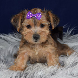 yorkie mixed puppies for sale in VA
