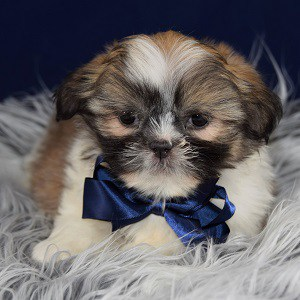 shih tzu puppies in pa shih tzu puppies for sale in pa shih tzu puppy adoptions 6234