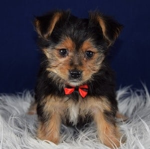 yorkie mixed puppies for sale in vt