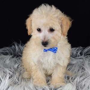 Therapy Dogs For Sale In Nj