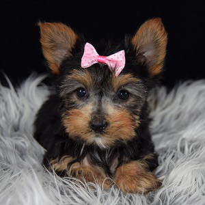 Yorkie puppy adoptions in NY