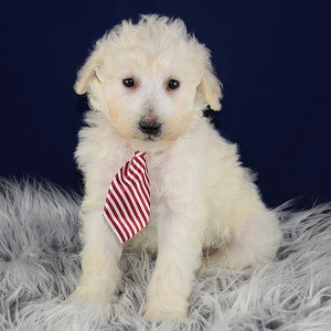 Maltese mix puppies for sale in DC