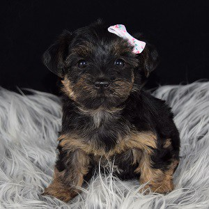 Yorkipoo puppies for sale in PA