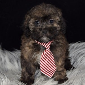 Shihpoo puppies for sale in CT