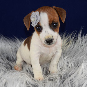 jug puppies for sale in PA
