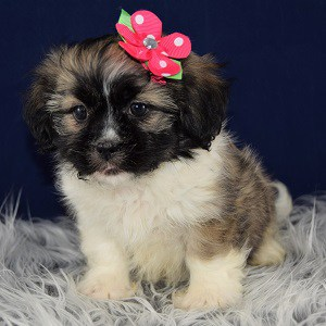 Hava Tzu puppies for sale in DE