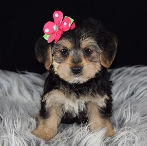 Yorkichon Puppies for Sale in PA | Yorkichon Puppy Adoptions