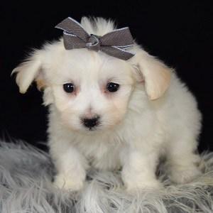 Havachon puppies for sale in NJ