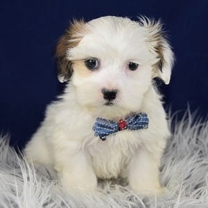 Shichon Puppies For Sale In Pa Ridgewood S Shichon Puppy