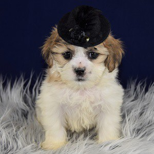 Teddy bear puppies for sale in ri
