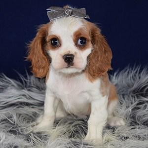 Cavalier puppies for Sale in DE