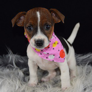 jack russell puppies for sale in RI