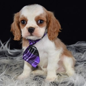 Cavalier puppies for Sale in VA