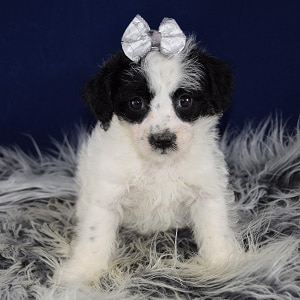 jackapoo puppies for Sale in DE