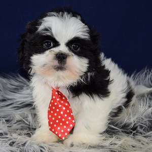 shih tzu puppies in pa shih tzu puppies for sale in pa shih tzu puppy adoptions 1027