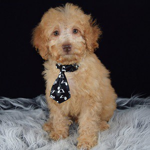 Cockapoo Dogs For Sale In Ct