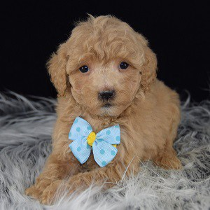 bichonpoo puppies for sale in Washington DC