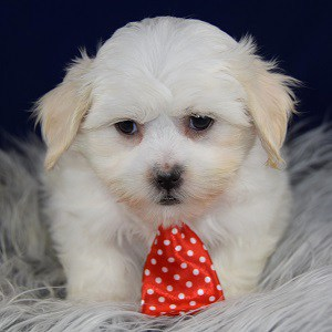 Shichon Puppies For Sale In Pa Ridgewood S Shichon Puppy Adoptions