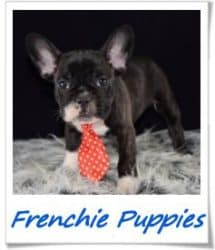Frechie puppies for sale in PA