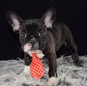 french bulldog puppies for sale in MD