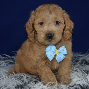 cockalier puppies for sale in RI
