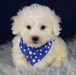 Bichon puppies for sale in NJ