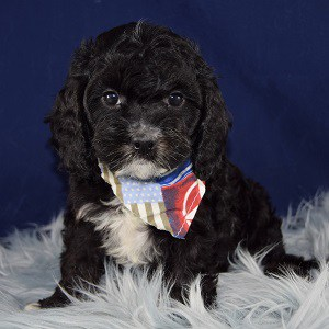Cavapoo puppies for Sale in MA