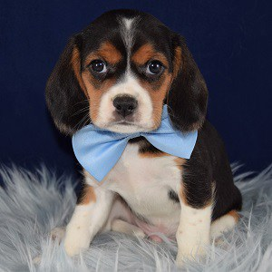 Beagle mixed puppies for sale in PA