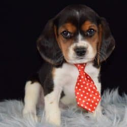 Beaglier puppies for sale in NY